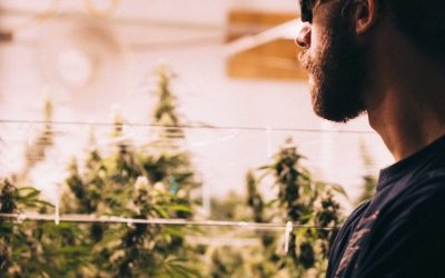 Luxury Cannabis – Justin 'Headymonster' perfects the plant