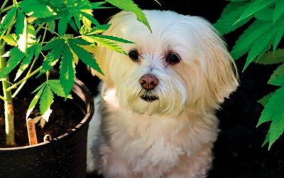 Learn about Dogs and CBD