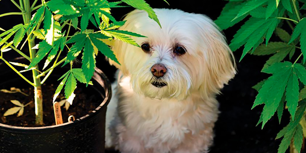 Dogs and CBD